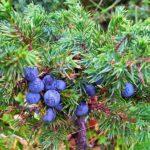 admedic.pl suplementy diety-zioła-jałowiec