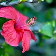 admedic-ziola-hibiskus